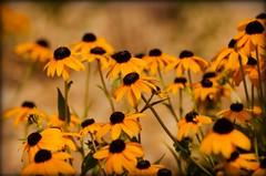 Peer Pressure (catmccray) Tags: flowers summer rudbeckia yellowflowers