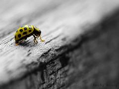 _DSC0353 (niko299) Tags: coccinelle sigma105macrof28 jaune yellow dsatur d5100 nikon macro insecte
