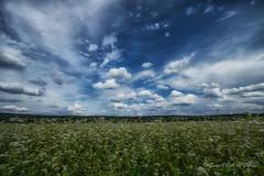 Y a Ce Bleu qui m'merveille (Sous l'Oeil de Sylvie) Tags: ciel sky champs fields fleurs sigma1020mm sousloeildesylvie pentax ks2 grandangle stgeorges beauce qubec nature rural ruralit campagne aot 2016flowers blanches nuages clouds bleu blue