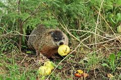 Ground hog (Susan Hancox Reid) Tags: groundhog whistlepig woodchuck animal rodent marmot