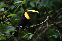 Toucan (Megan Lorenz) Tags: chestnutmandibledtoucan blackmandibledtoucan toucan bird avian rainforest nature wild wildlife wildanimals travel centralamerica costarica mlorenz meganlorenz