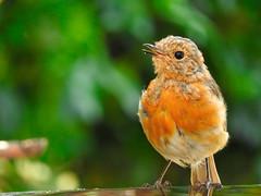 I  now have my red waistcoat! (macfudge1UK) Tags: nature 2016 avian bird britishbird britishbirds england fauna gb greatbritain oxfordshire oxon rspbgreenstatus uk wildlife allrightsreserved bbcsummerwatch summer nikon coolpix coolpixp610 p610 nikoncoolpixp610 britain birdbath erithacusrubecula juvenile redbreast robin water naturethroughthelens