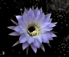 _DSC0150 Fleur de cactus (Le To) Tags: extrieur plante fleur fiore flower