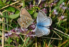 Chalk Hill Blues (tsbl2000) Tags: chalkhillblue butterfly mallingdown sussexwildlifetrust sussexdowns southdowns summer nikond810 tamron150600mm naturethroughthelens