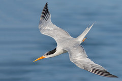 Top View (bmse) Tags: elegant tern bolsa chica canon 7d2 400mm f56 l bmse salah baazizi wingsinmotion