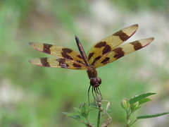 Halloween Pennant (jdf_92) Tags: indiana yellowwoodstateforest dragonfly halloween halloweenpennant celithemiseponina orange