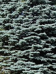 Batavia, IL, The Holmstad Garden, Blue Spruce (Mary Warren (7.2+ Million Views)) Tags: bataviail theholmstad garden nature flora tree pine evergreen bluespruce