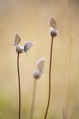 Depth of field (Michel Couprie) Tags: macro butterfly papillon argus flower plant dof depthoffield blur focus lensblur morning softlight composition nature insect animal ef10028lmacro michel couprie canon eos