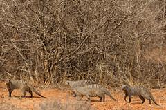 D01-0065-5DS04192 (Roy Prasad) Tags: mongoose rodent kenya africa safari nairobi prasad royprasad travel tsavo canon 5ds 5dsr 70200mm animal wildlife