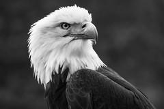 20160524-160524_Greifvgel_199.jpg (ubullerdieck) Tags: dortmund deutschland nordrheinwestfalen kirchhrde vgel greifvgel augustinum tiere weiskopfseeadler