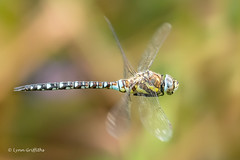 Common Hawker D50_3455.jpg (Mobile Lynn) Tags: commonhawkerdragonfly wild insects dragonfly nature fauna wildlife hurst england unitedkingdom gb coth specanimal