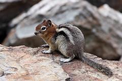 Golden-mantled Ground Squirrel (psychostretch) Tags: animal beaverheaddeerlodgenationalforest goldenmantledgroundsquirrel groundsquirrel lostcreektrail mammal rodent squirrel