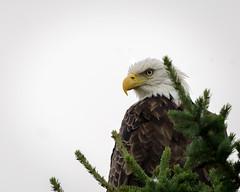 EagleEye (jmishefske) Tags: northwoods nikon d7100 bird august wisconsin 2016 eagle mature eagleriver