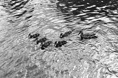 Ducks, Bridgewater Canal (MCorrigan1983) Tags: jch400 streetpan 2016 bw dunhammassey jchstreepan400 nikkor50mmf14ais nikonfe2 duck