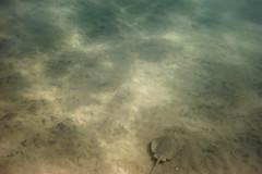_DSC1036 (andrewlorenzlong) Tags: california laguna beach lagunabeach pacific ocean pacificocean snorkel snorkeling stingray sting ray rays stingrays leopard leopardray leopardrays thornback thornbackray