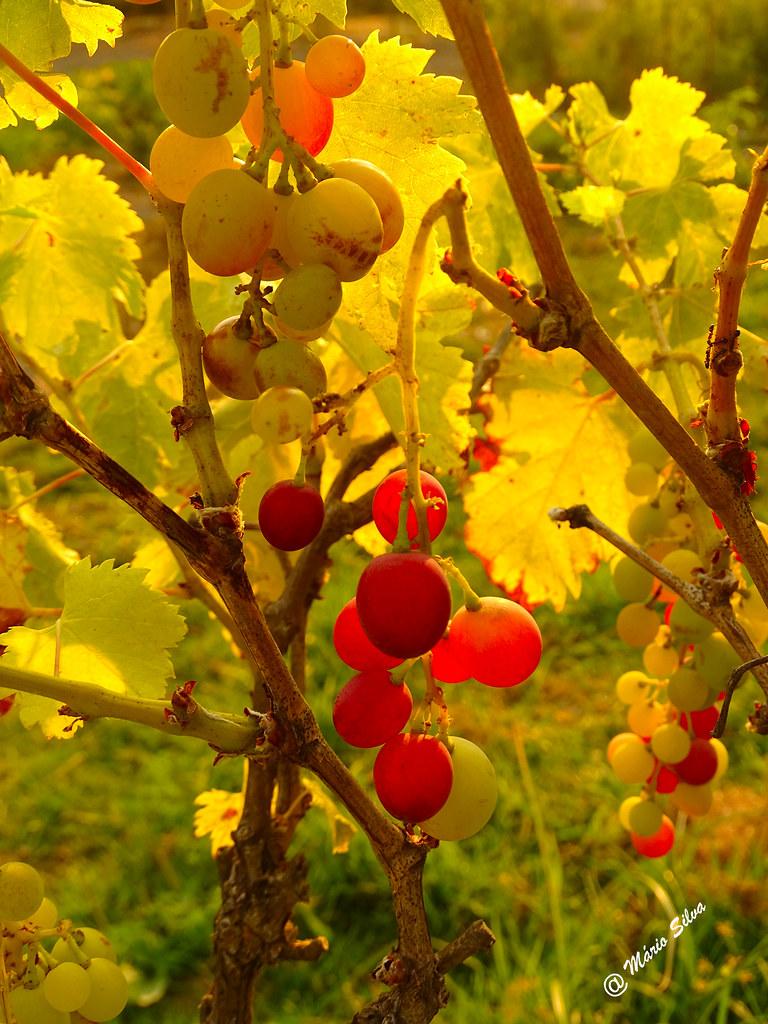 Águas Frias (Chaves) - ... o colorido das uvas sob o afago da luz do sol ...