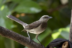 Sinsonte Comun- Mimus gilvus- TROPICAL MOCKINGBIRD (Carlos Alberto Arias A.) Tags: bird nature sinsonte comun mimus gilvus tropical mockingbird finca siboney santagueda palestina caldas colombia