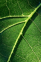 Giant sunflower leaf. (bkkay1) Tags: chicago garden macrophotograph afternoonsun