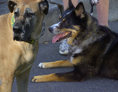 Dogs (swong95765) Tags: dog dane cute calm animal canine distracted waiting