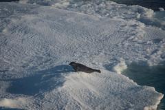 Harp seal 6 (Elvar H) Tags: arcticocean harpseal helmerhansen phocagroenlandica siarctic grnlandssel sealsampling vuselur
