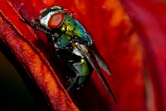 Happy Flyday! (Astral Will (Away for a While)) Tags: insect fly blowfly lily macro dew water drop eye hairs cleaning