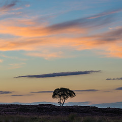 Lone Tree at Sunset (Geoff France) Tags: dava davamoor davaway tree outdoor silhouette sunset gloaming sky cloud highlands scottishhighlandslandscapescottish landscapecairngormscairngorms national parkgrantowonseafieldseafield estate
