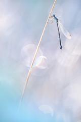 Lestes sp. II (MichaSauer) Tags: binsenjungfer lestes damselfly demoiselle kleinlibelle libelle odonata gegenlicht sonnenaufgang insect sunrise nature blue blau flare makro