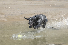Airbourne (Anthony de Schoolmeester) Tags: cockerspaniel dogs dog wetdog spaniels englishcockerspaniel splash water sea blueroan blackandwhite amroth beach runningdog