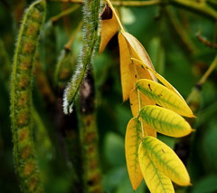 Fuzzy pods and leaves (pilechko) Tags: bowmanshill pods leaves color newhope pennsylvania buckscounty