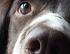 Close up (Shooting Star <3) Tags: portrait dog english closeup nose spring spaniel springer indi