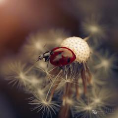 balancing lady (ildikoneer) Tags: macro canon lens 100mm ladybug 28