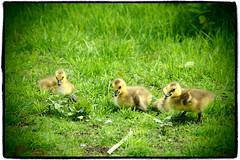 Yellow Plumage of Goslings () Tags: canada bird geese bc delta gosling birdwatching canadagoose zoomlens reifelmigratorybirdsanctuary m43 mirrorless microfourthirds olympusmzuikodigitaled14150mmf4056 olympuspenep3