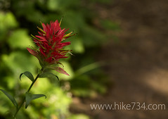 "Indian Paintbrush • <a style=""font-size:0.8em;"" href=""https://www.flickr.com/photos/63501323@N07/7110947961/"" target=""_blank"">View on Flickr</a>"