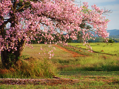 A Different Perspective (osvaldoeaf) Tags: road pink flowers brazil mountains flower tree green nature brasil fence landscape petals spring branch cerrado goinia gois wonderfulworldofflowers