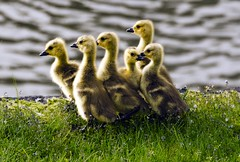 Siblings (Darrell Wyatt) Tags: family sunrise geese washington young siblings chicks northbonneville