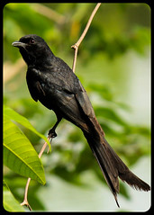 Black Drongo (BorisWorkshop (130k+ views, thanks)) Tags: taiwan alian blackdrongo