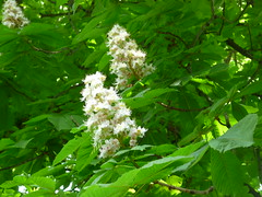 White Chestnut Flower (anng48) Tags: pink white france chestnuttree marronnier chantaignier