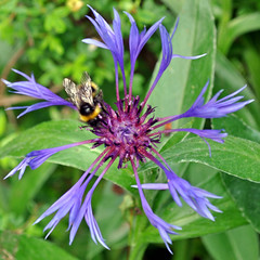 BEE on the Cornflowers (littlestschnauzer) Tags: uk blue summer west flower detail macro green windmill leaves june insect petals wings nikon yorkshire bee bumblebee striped lattice cornflower 2012 pollination pollinating deilcate d5000