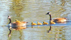 Famille Bernaches (Lara-queen) Tags: canada reflection bird nature water animal spring eau quebec magog wildlife mai reflet printemps oiseau canadageese 2012 sauvage mfcc quynhvu laraqueen canonpowershotsx30is bernacheducanda