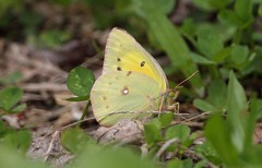 IMG_3066 (rpealit) Tags: park county orange nature rock butterfly scenery wildlife sulphur jefferson morris dickerson mahlon reservation rill twp saffin