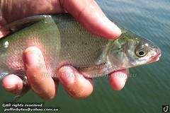 Bream - Abramis brama (puffinbytes) Tags: greatbritain england london animals unitedkingdom carps bream animalia minnows cyprinidae cypriniformes chordates chordata actinopterygii rayfinnedfishes abramis abramisbrama taxonomy:kingdom=animalia taxonomy:phylum=chordata taxonomy:class=actinopterygii taxonomy:family=cyprinidae taxonomy:order=cypriniformes leuciscinae spb:country=uk spb:id=01f5 spb:species=abramisbrama spb:pty=f spb:lid=00a7 taxonomy:subfamily=leuciscinae taxonomy:genus=abramis taxonomy:species=brama taxonomy:binomial=abramisbrama taxonomy:common=bream spb:pid=08fg