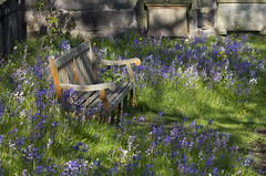 Resting Place (Lawrence OP) Tags: cemetery bluebells bench edinburgh quiet peace stjohns silence shade serenity serene