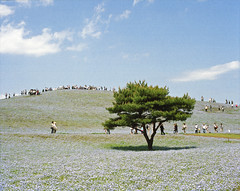 Nemophila hill #4 (nipomen2) Tags: park japan seaside asahi pentax  6x7 portra 67 hitachi ibaraki 160 nemophila hitachinaka
