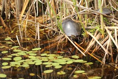 Claude's Turtles (#1385) (protophotogsl) Tags: water river reeds spring turtle ottawa may turtles boardwalk ncc bog rushes tortue merbleue nationalcapitalcommission waterlilypads merbleuebog protophotogsl dolmanridgeroad 166edit