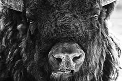 Bisonte americano (Tommaso Petruzzi) Tags: world africa food usa nature animals zoo buffalo nikon wide natura 300mm occhi american jail peta carne latte mucca bianco galera nero toro cibo