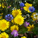 Wild Flower Meadow NottsWT  2 (cpt Roseanne Richardson)