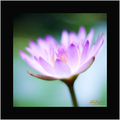 Is this real ? (Nguyn Hong (Mattoet)) Tags: flowers light flower beautiful leaf waterlily hoa artphoto hoangnguyen thinnhin nguyenhoang nguynhong nguyenhoangarc hoangnguyenarc