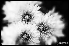 "2011-10-07 [134] Chrysthanthemums (Badger 23 / jezevec) Tags: blackandwhite bw white black flower macro fleur monochrome october noiretblanc blossom indianapolis flor monochromatic concorde bloom blomma bunga 花 blume fiore av bulaklak bloem פרח chryzantema زهرة kwiat گل 꽃 2011 kukka цвет цветок jezevec λουλούδι chrysanthemen květ kasımpatı chrysthanthemum 菊花 חרצית květina výběr brancoenegro फूल בלום krysantemum квітка 국화속 seruni krizantém fotografíaenblancoynegro хризантема ""pokok schwarzweisfotografie داودی badger23 پھول černobíláfotografie ফুল okseøje skaistažiedė kekwa"" キク属 crisantemu krysanteemit pm799 عکاسیسیاهوسفید"