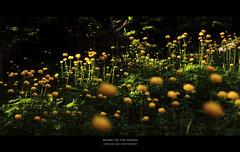 Secret of the Woods (Glasauge ) Tags: flowers bw forest canon schweiz is blumen l 5d wald 70200 circular mrc mark2 polariser oeschinensee ksemann