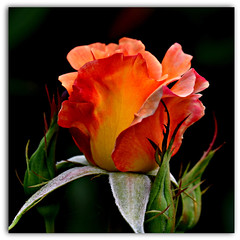 A Friday Rose (Eleanor (WHU)) Tags: rose garden thelook flowerbasket floralfantasy perfectpetals photogarden flowersarebeautiful worldofflowers thegardengnomeawardgroup flickrsawesomeblossoms amazingdetails passionforflowers unforgettableflowers addictedtoflowers flowersonflickr weallloveflowers flowers4you brigettesbeautifulnaturegallery certifiedphotographerlevel1